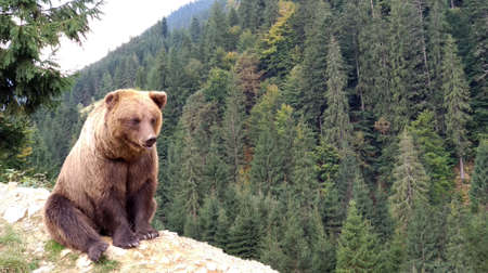 Brown bear in the wild, in its natural habitat in the Carpathian mountains