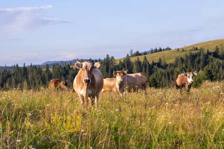Herd of cows graze on a summer grass meadow on the sunset