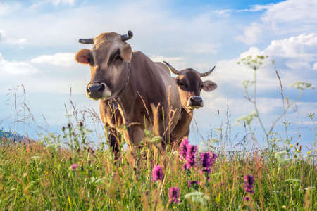 Two cows closeup graze on a summer grass meadow on the sunset Stockfoto