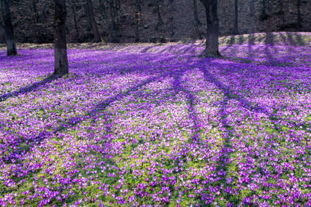 Glade in the forest, covered with crocuses, spring background Stockfoto