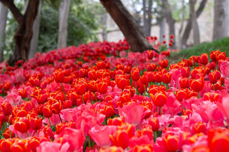Flower beds with red tulips in the tulip festival in Istanbul, Turkey