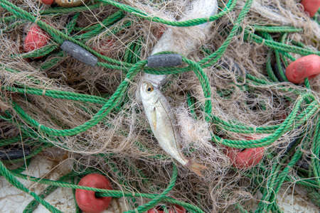 Sardine entangled in a fishing net, industrial fishing 写真素材 - 115982807
