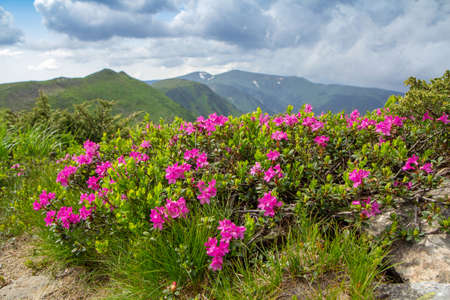 Blossoming pink rhododendron in the mountains, flowering valley on top of the ridge in Carpathian 写真素材 - 120463072