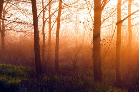 The suns rays make their way through the trees in the forest at sunrise, background in orange and green tones