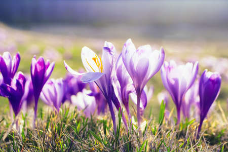 Delicate spring background, crocus flowers in the sun on a meadow