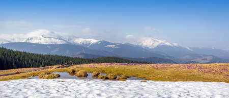 Spring snow melt and in the Carpathian valleys grow beautiful alpine flowers crocuses, they are also Geyfelya, primroses, mountain landscape, wide panorama, spring background for billboard Stockfoto