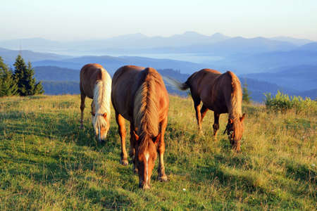 Three horses at dawn graze in the meadow on the background of silhouettes of mountains Stockfoto
