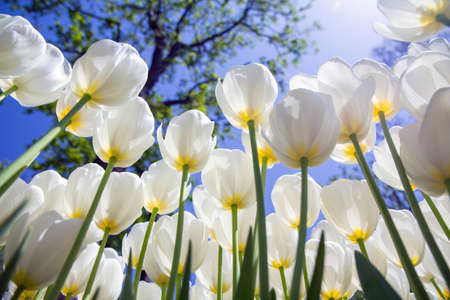White tulips against the blue sky in Emirgan Park, Turkey, Istanbul, bottom view