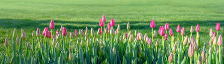 Horizontal banner gentle pink buds of blooming tulips on the background of lush green grass Stockfoto
