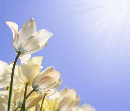 Delicate white tulips in the sunshine on a blue lilac background, bottom view Stockfoto