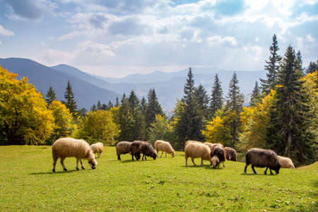 Herd of sheep grazing high in the mountains in autumn on alpine meadow