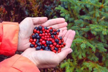 A handful of berries in the palms of a tourist woman on the background of forest