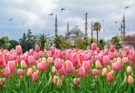 The Blue Mosque, (Sultanahmet Camii) with pink tulips, Istanbul, Turkey Banque d'images