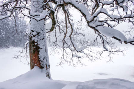 Snow-covered tree on Lake Synevyr, winter landscape