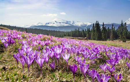 A meadow of blooming crocuses in the mountains, Carpathians, Ukraine