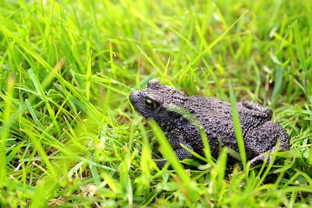 lurking: Black toad lurking in the grass