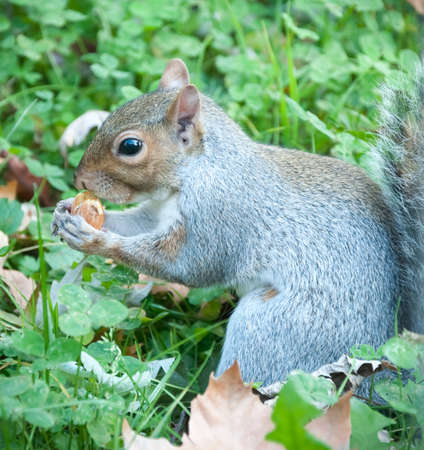 squirrel in a sunny day eat an acorn photo