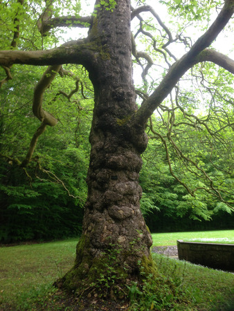 Twisted and old tree in Coole Park Ireland Imagens