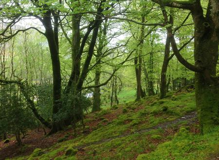 Groen bos in Ierland.