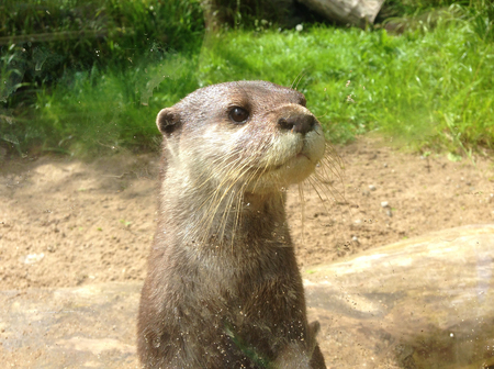 Otter in de dierentuin van Dublin in Ierland. Stockfoto