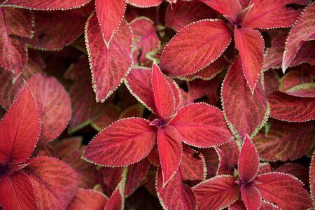 serrate: Foliage in Fall Stock Photo