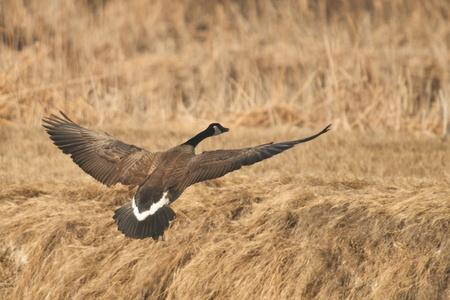 Goose in Flight 版權商用圖片 - 17711317