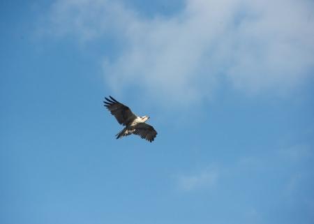 Osprey in flight with fish Stok Fotoğraf