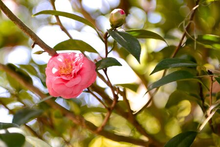 Camellia bloom with bud