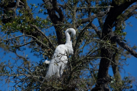 Great egret on a nest