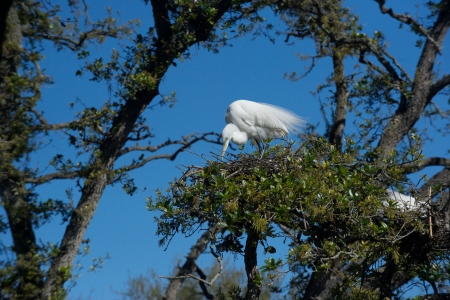Great egret arranging twigs Stok Fotoğraf