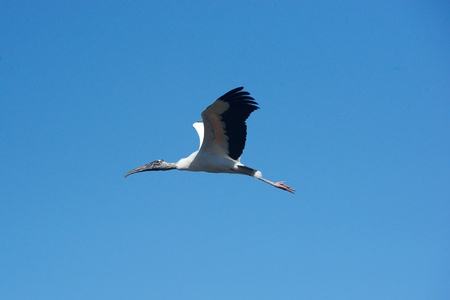 Wood stork against blue sky Stok Fotoğraf