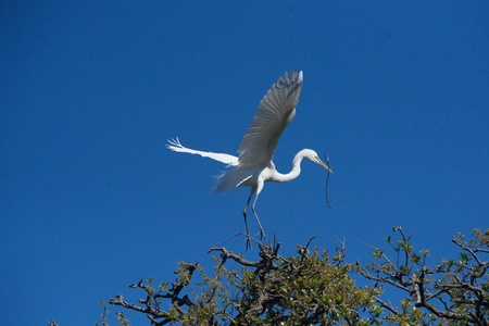 outspread: Great egret landing with twig wings outspread