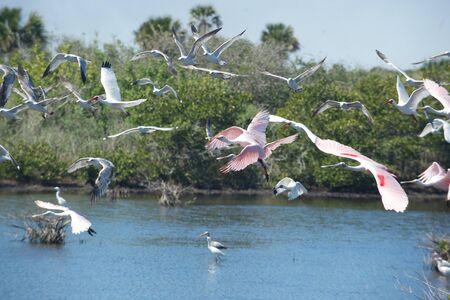 Flock of spoonbills, gulls and ibises take flight