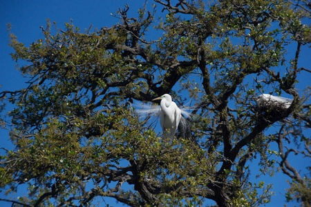 Great egret courting dance