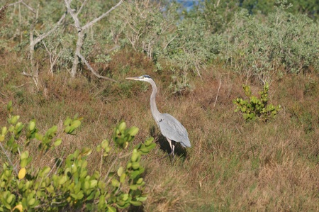 Great Blue Heron Stok Fotoğraf