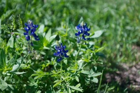 Texas Bluebonnet in bloom