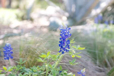 Bluebonnet with blurred background Stock fotó