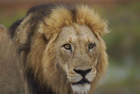 furSouth Africa Lion male portrait in Kruger Park photo