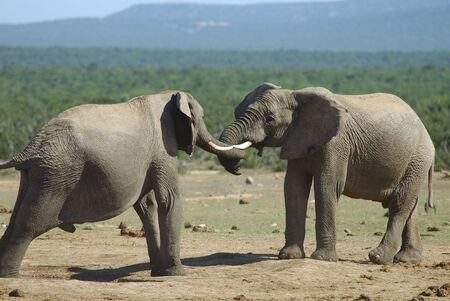 South Africa Addo elephant park Fighting of two elephants males