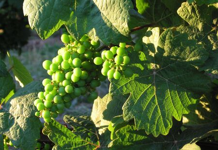 des vins: Close up of french young bunch grapes in Alsace region - France in july
