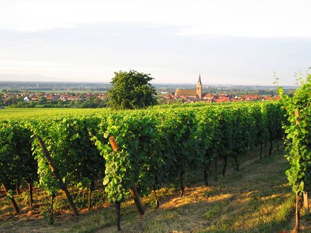 Wineyards at the north of the alsacian village of Bergheim Stock Photo - 3366336