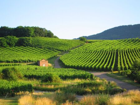 des vins: fields of grapewine in Alsace - Route du vin - Rorschwihr - France Stock Photo