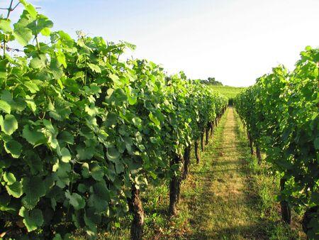Alsacian vineyard in July at Rorschwihr - France Stock Photo - 3371224