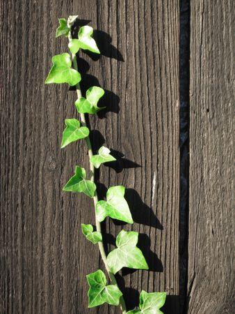 English grenn ivy growing on a palisade Stock Photo
