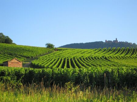 fields of grapewine in Alsace - Route du vin - Rorschwihr - France - right top hill the Haut Koenigsbourg castle