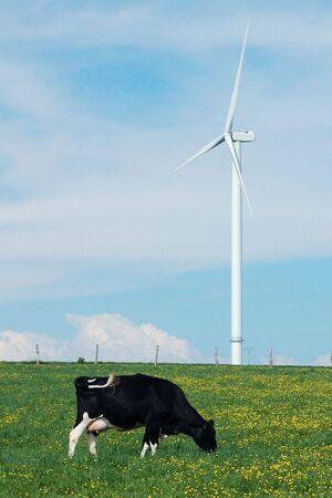 windturbine: a cow eating near a windturbine - France