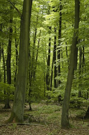 luxuriant: Oak and beech forest in France Lorraine region during springtime