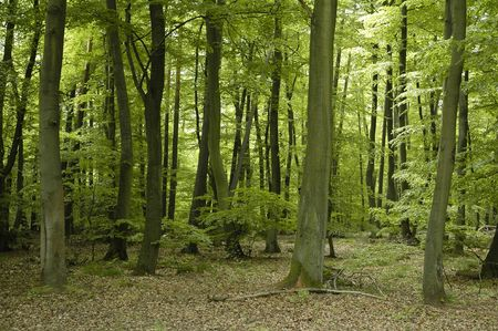 Oak and beech forest trees in France Lorraine region during springtime