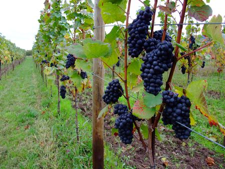 des vins: french red bunch grapes Pinot noir in Alsace region - France
