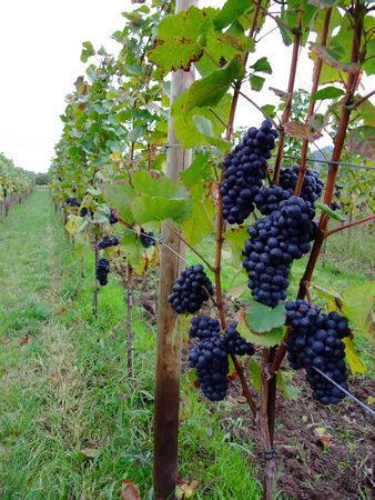 pinot noir: french red bunch grapes Pinot noir in Alsace  - France